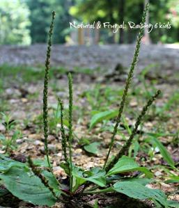 plant Plantain
