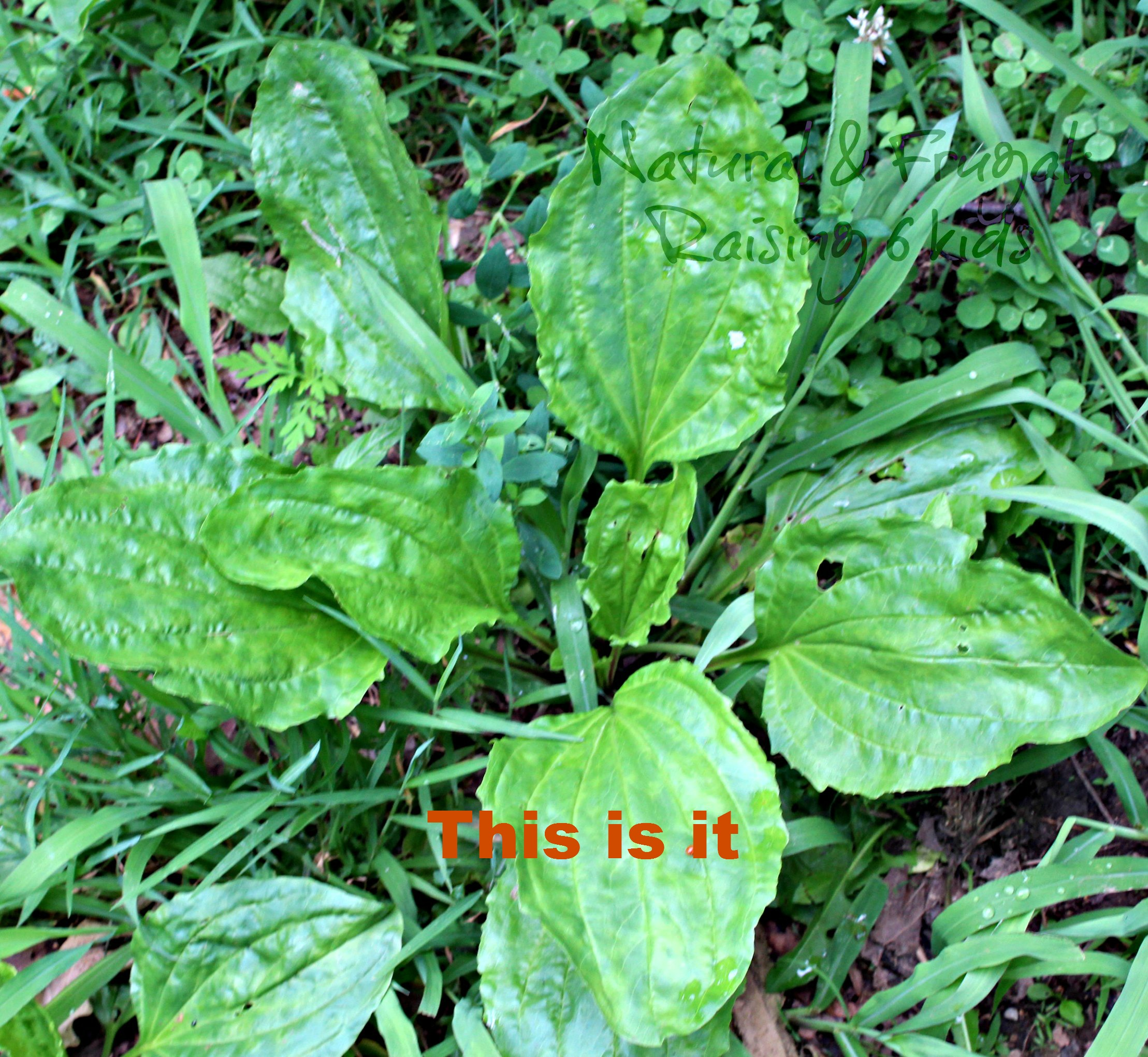 A Diy Life Part 1 Picking Plantain An Awesome