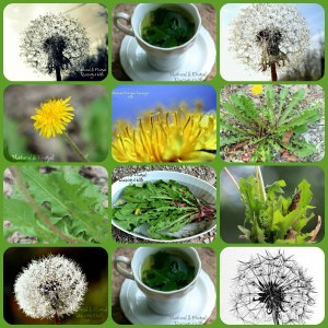 Dandelion Collage
