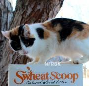 swheat scoop 2