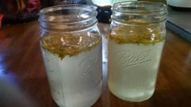 Dandelion water kefir